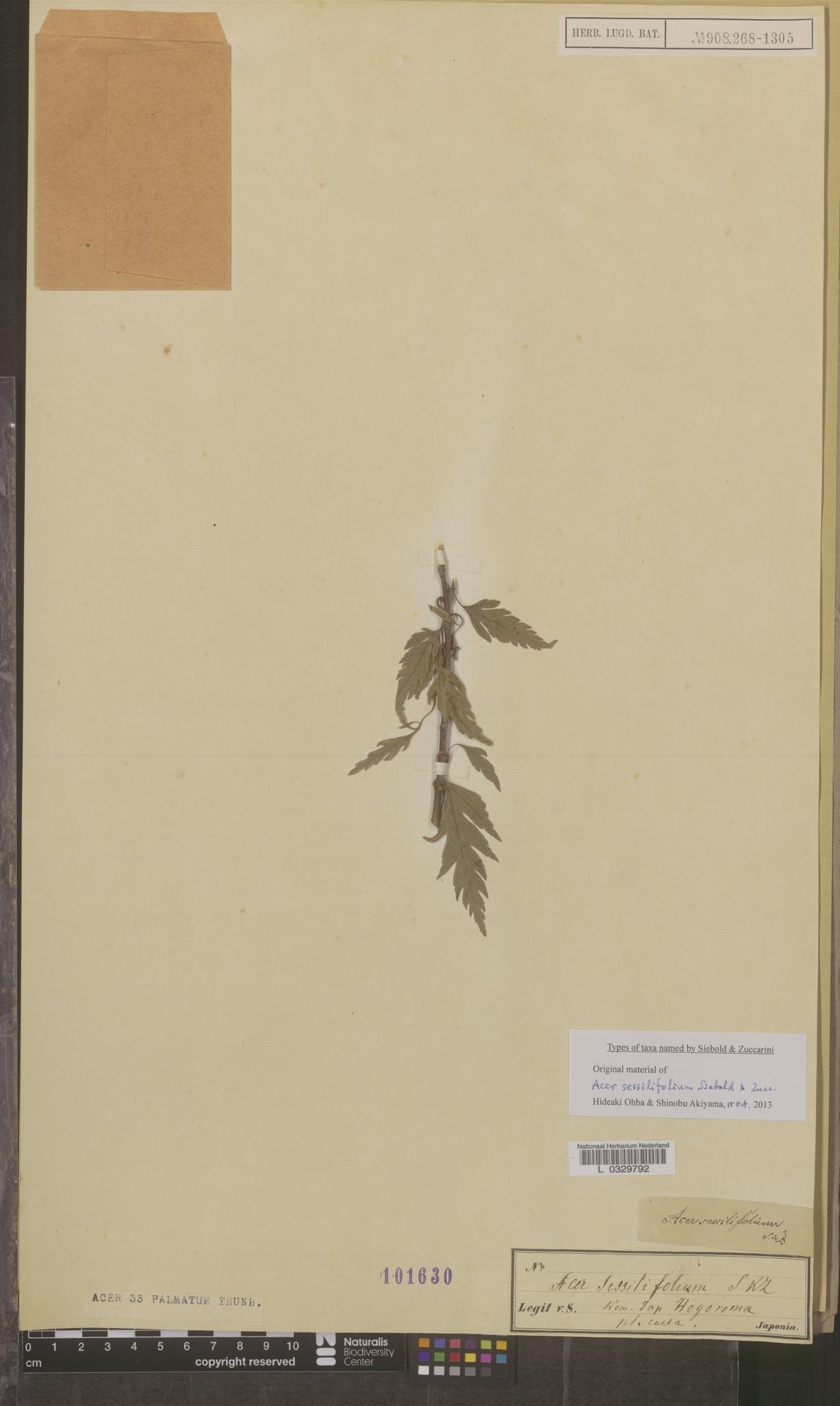 L  0329792 | Acer palmatum Thunb.