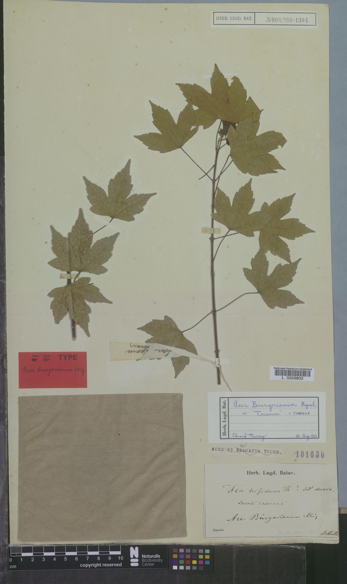 L  0329803 | Acer buergerianum cv. 'Trinerve'