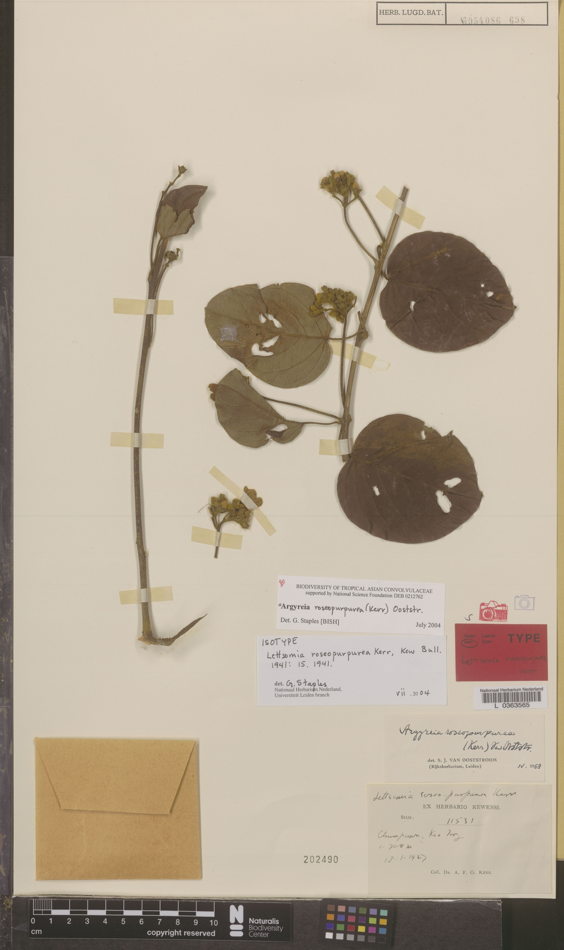 L  0363565   Argyreia roseopurpurea (Kerr) Ooststr.