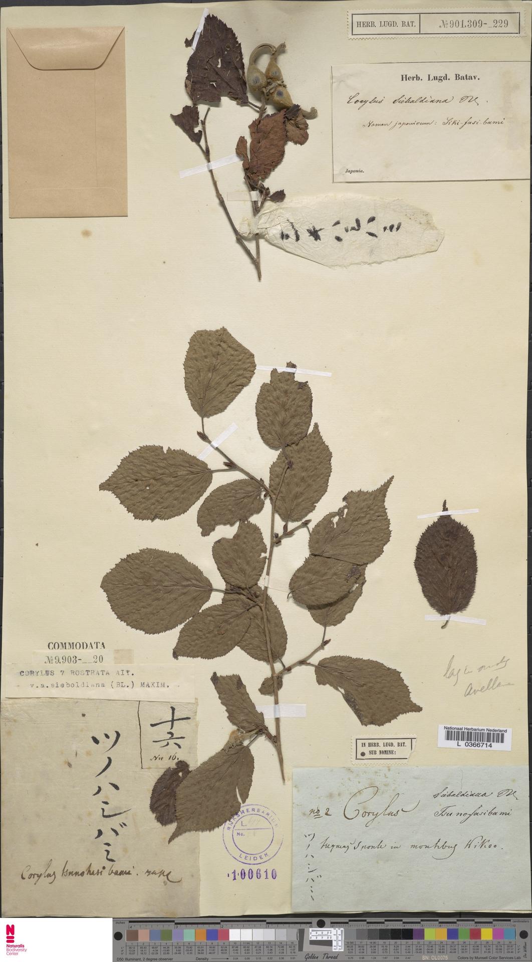 L  0366714   Corylus rostrata var. sieboldiana (Blume) Maxim.