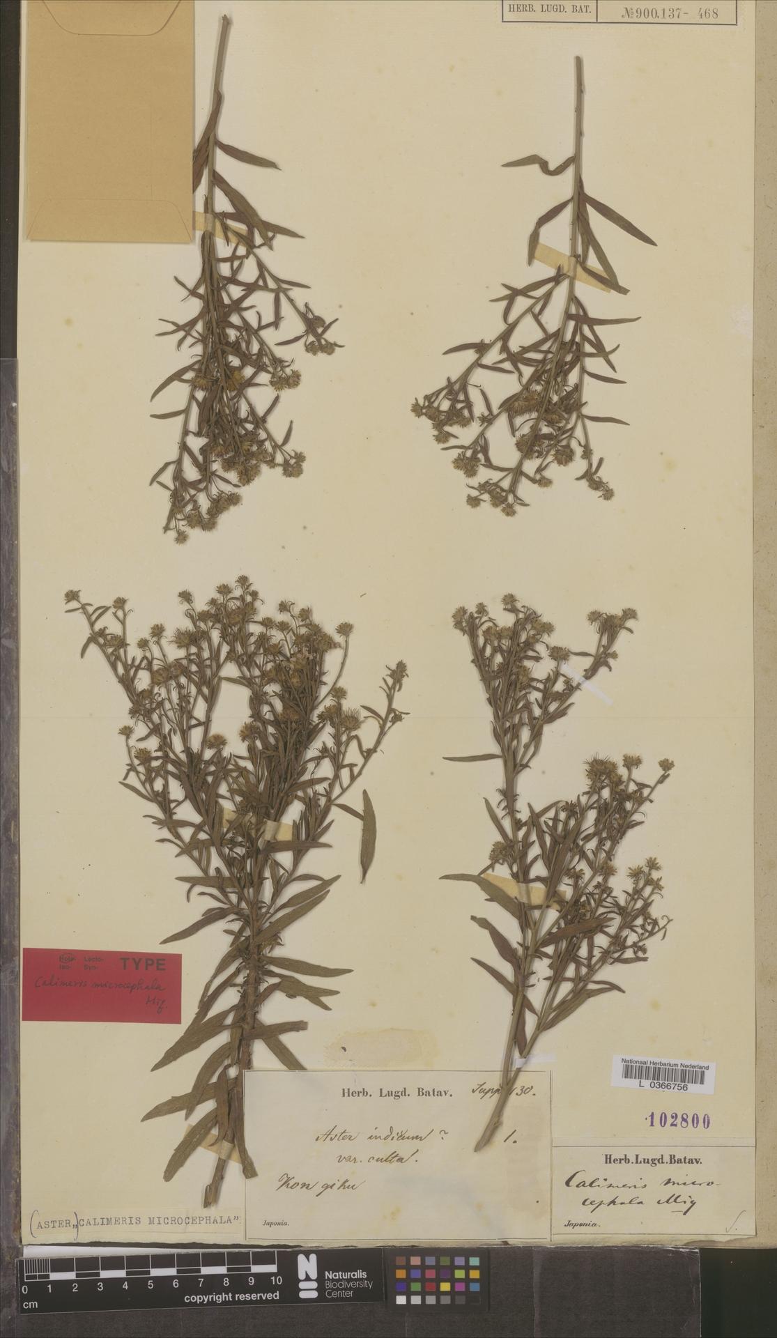 L  0366756   Calimeris microcephala Miq.