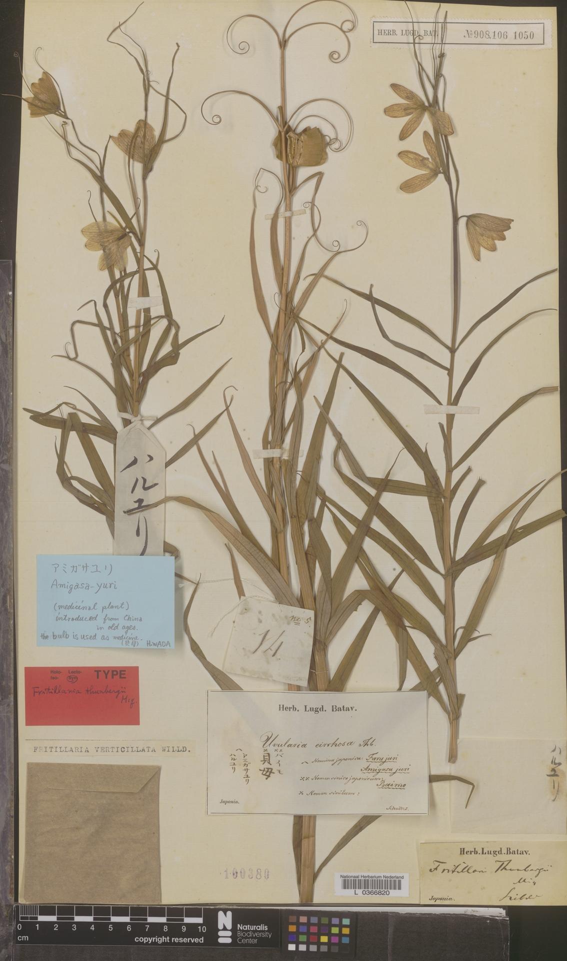 L  0366820 | Fritillaria verticillata Willd.