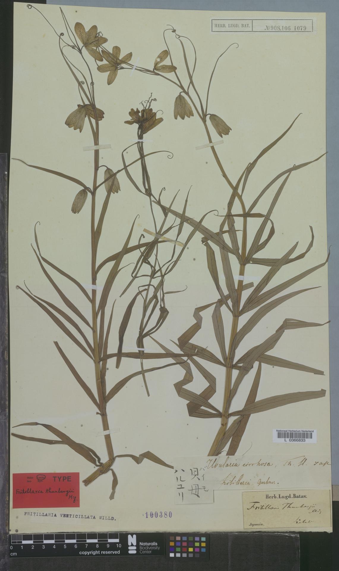 L  0366833 | Fritillaria verticillata Willd.