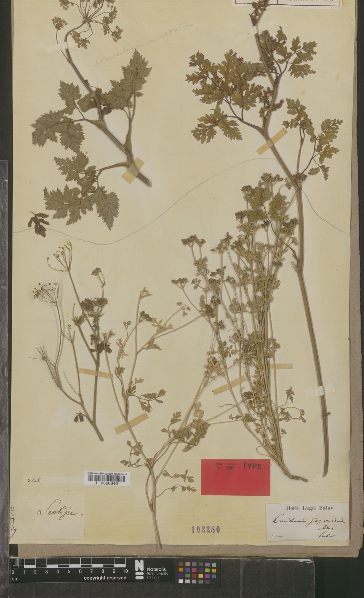 L  0366846 | Cnidium japonicum Miq.