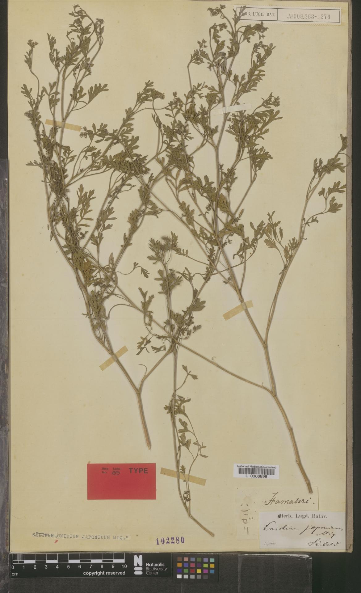 L  0366898 | Cnidium japonicum Miq.