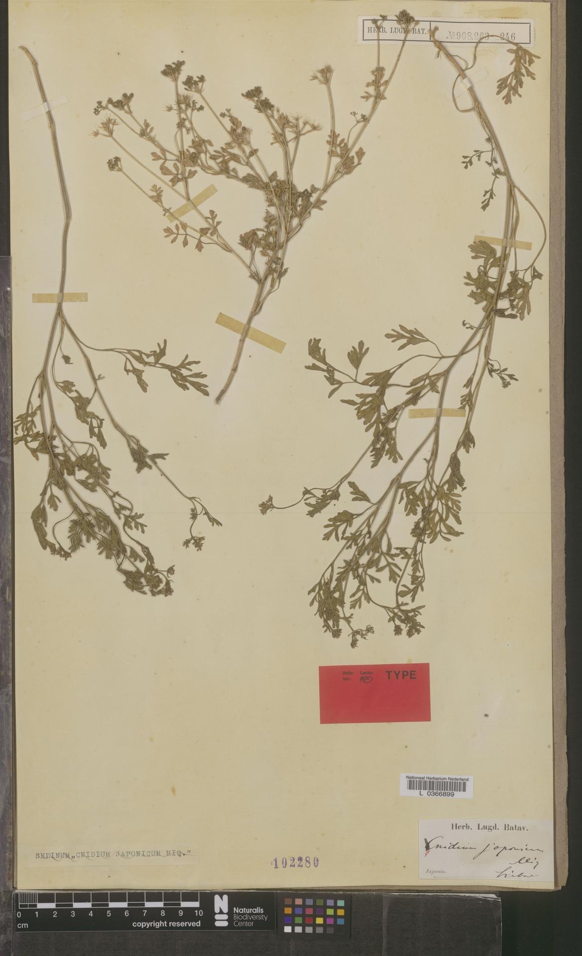 L  0366899 | Cnidium japonicum Miq.