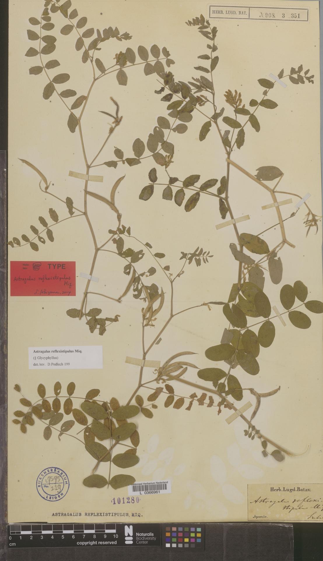 L  0366961 | Astragalus reflexistipilus Miq.