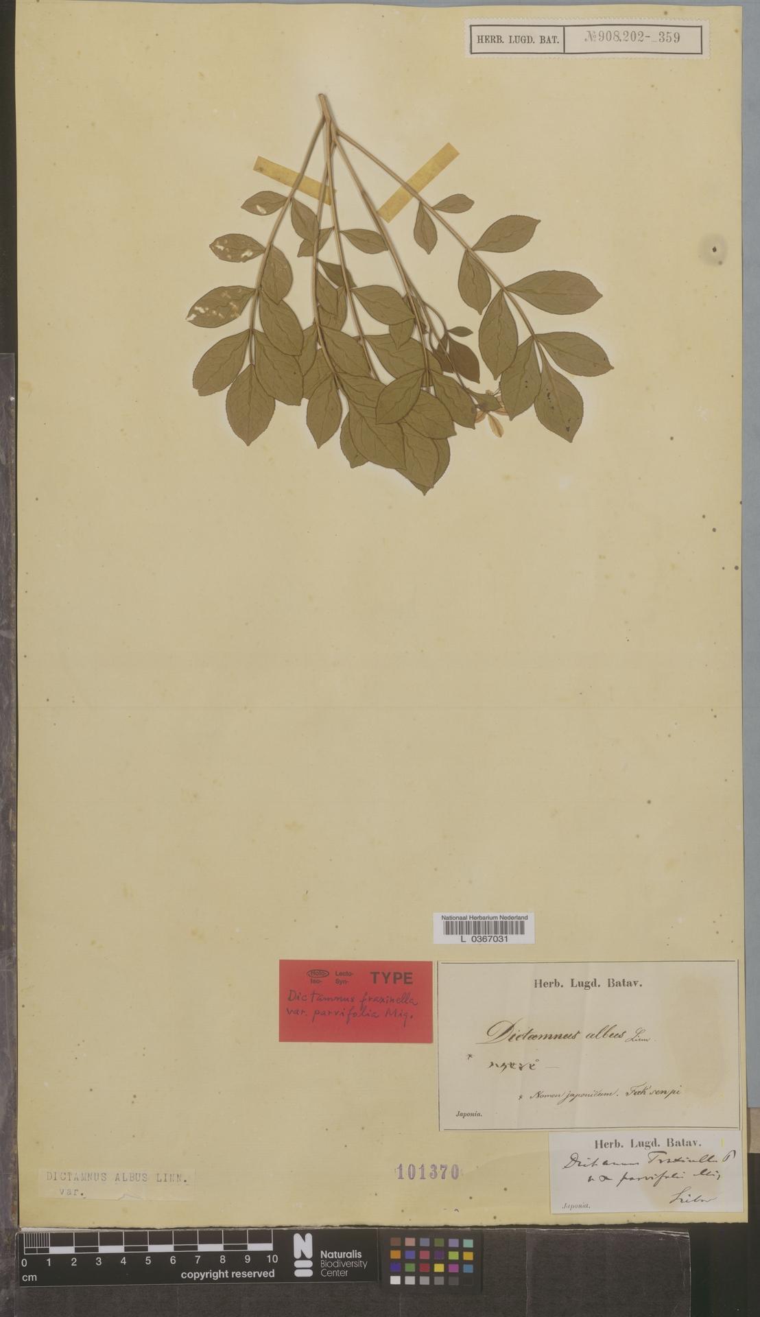 L  0367031 | Dictamnus albus L.