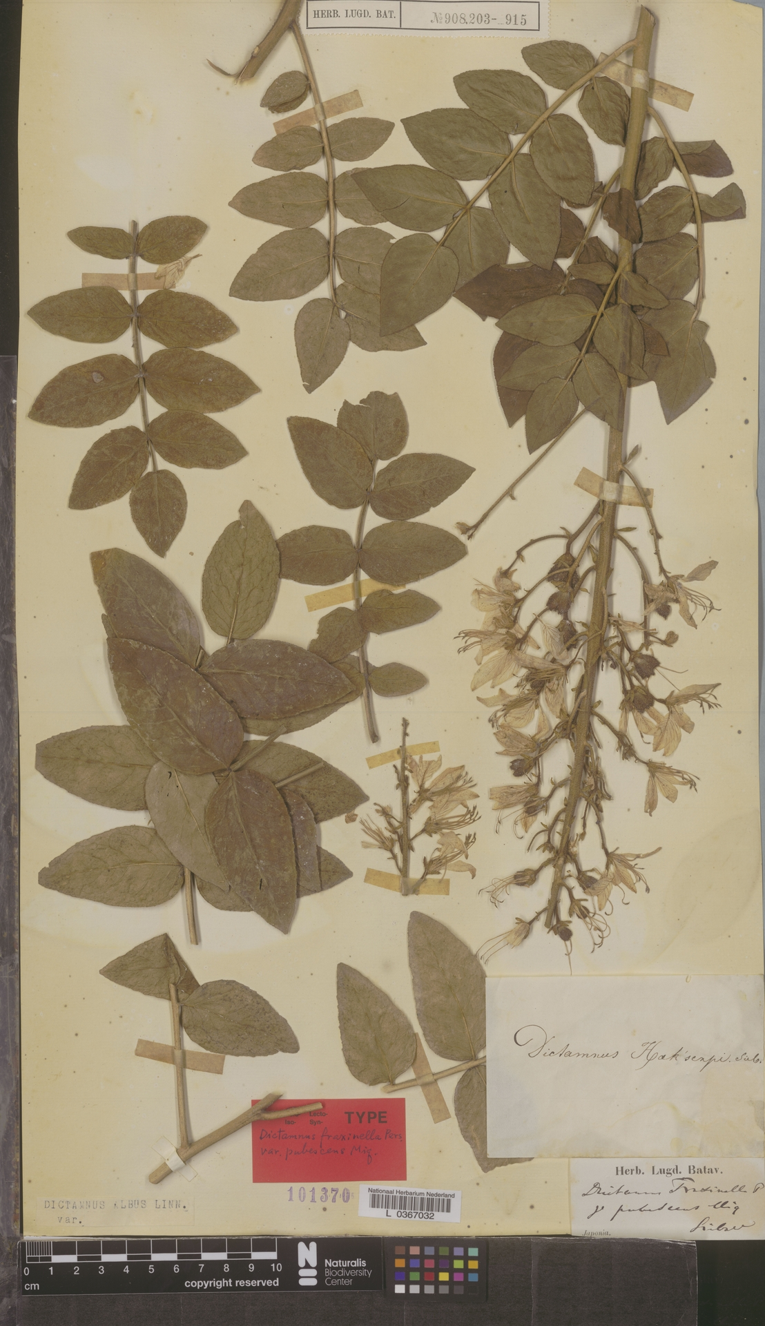 L  0367032 | Dictamnus albus L.