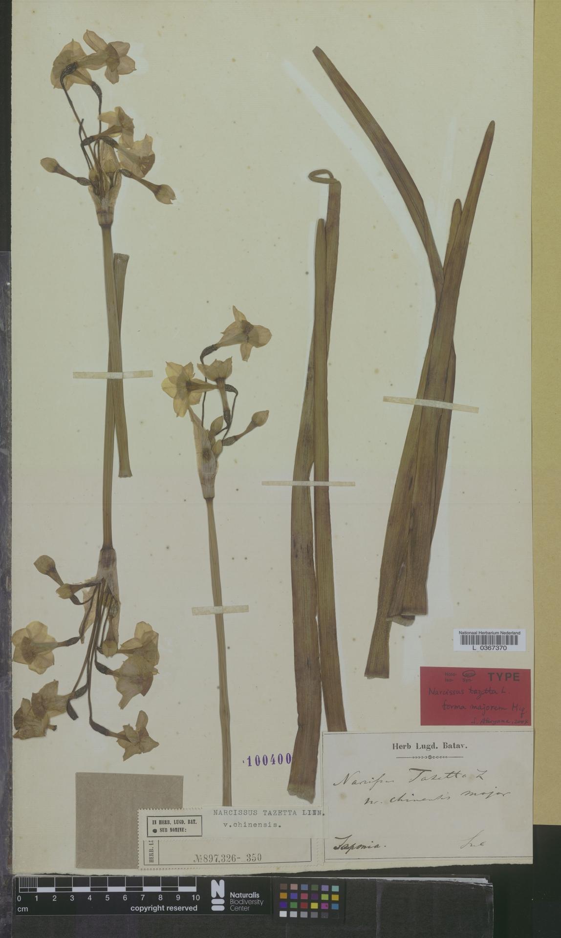 L  0367370 | Narcissus tazetta var. chinensis