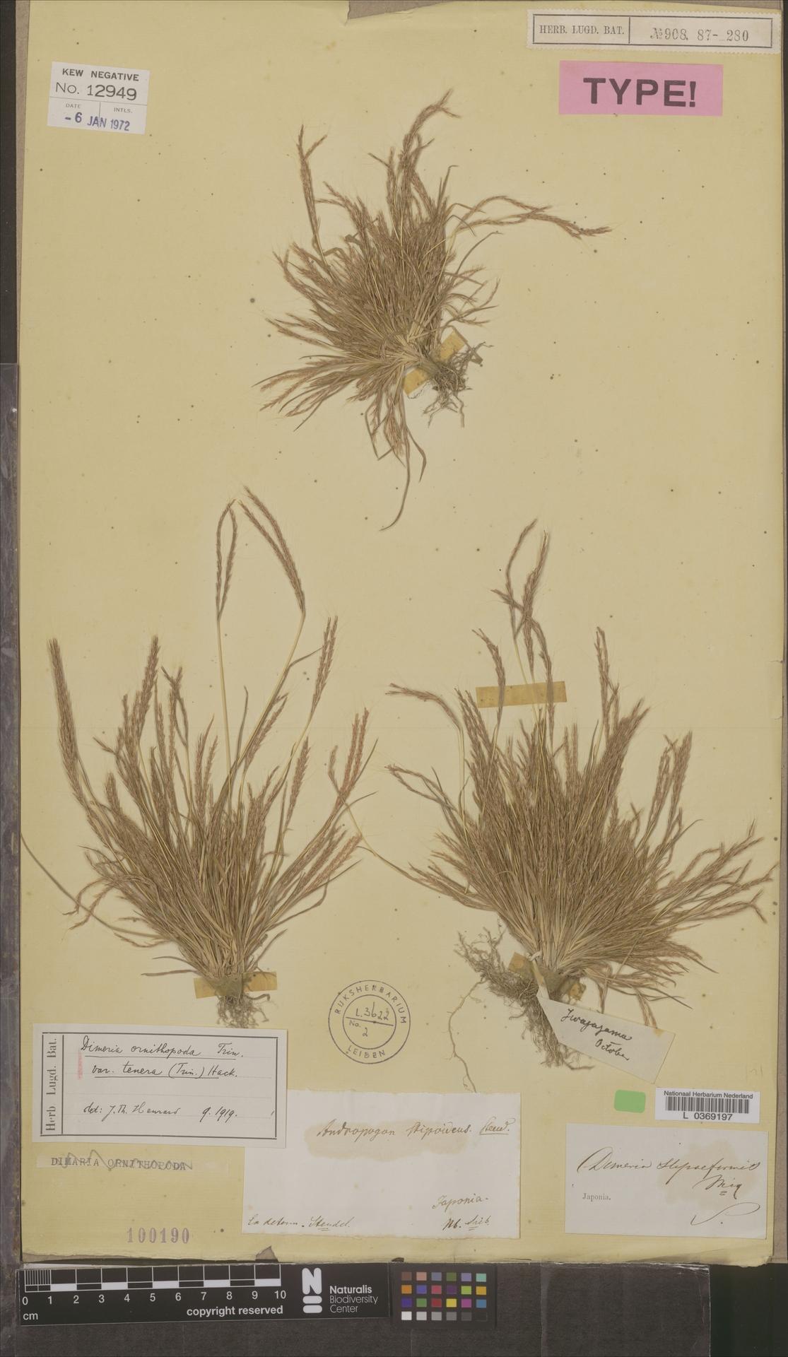 L  0369197 | Dimeria ornithopoda var. tenera (Trin.) Hack.