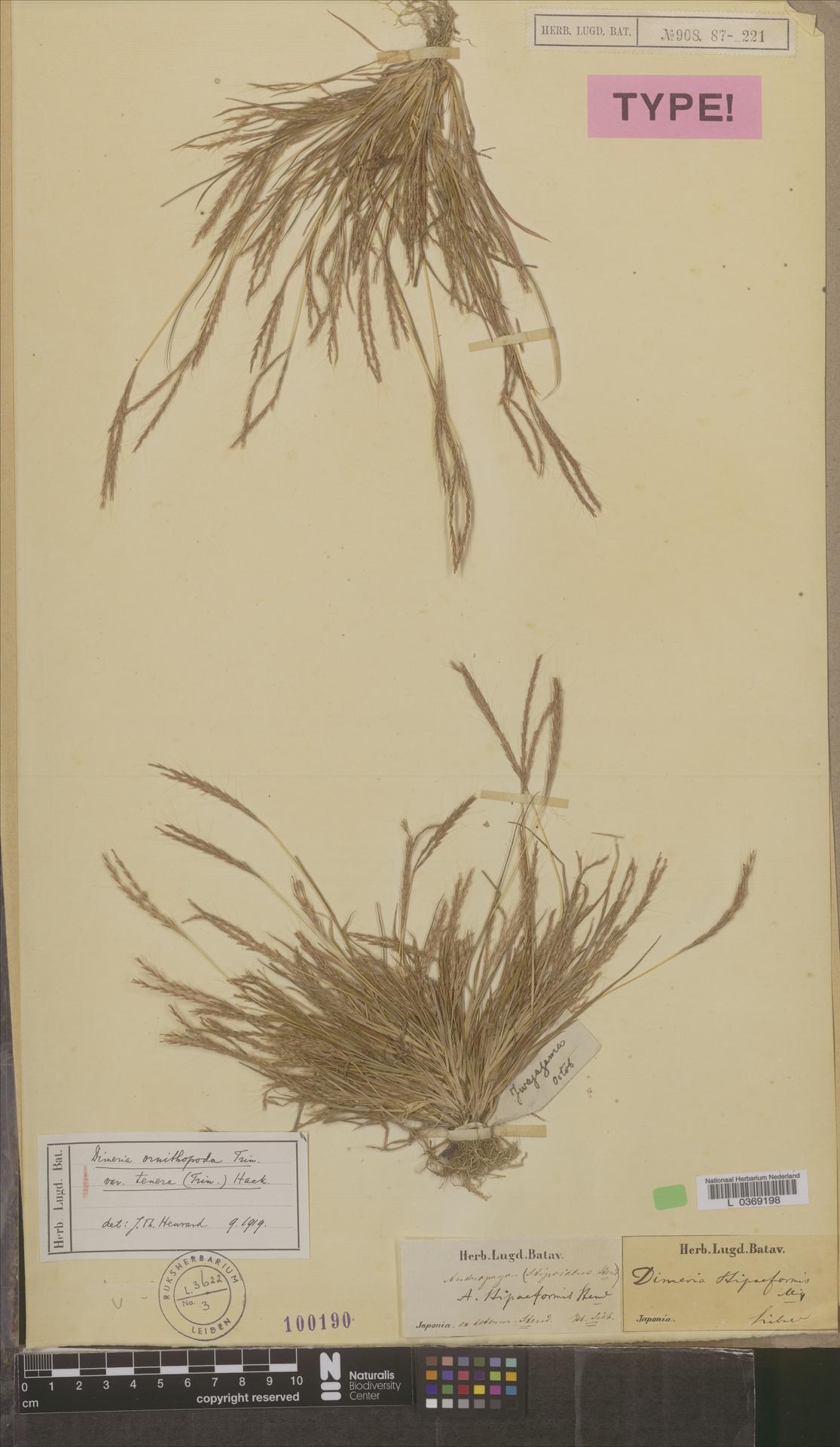 L  0369198 | Dimeria ornithopoda var. tenera (Trin.) Hack.