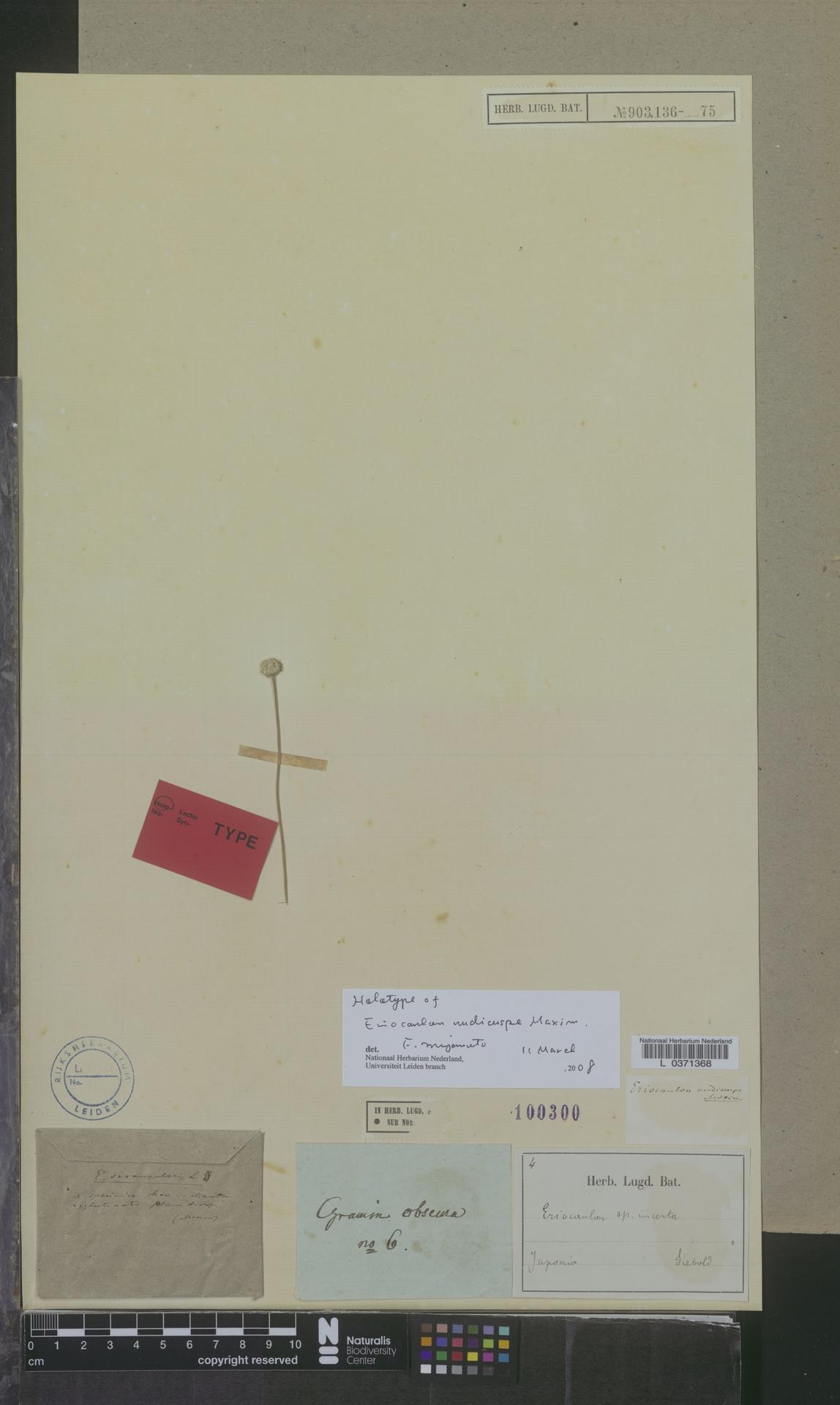 L  0371368 | Eriocaulon nudicuspe Maxim.