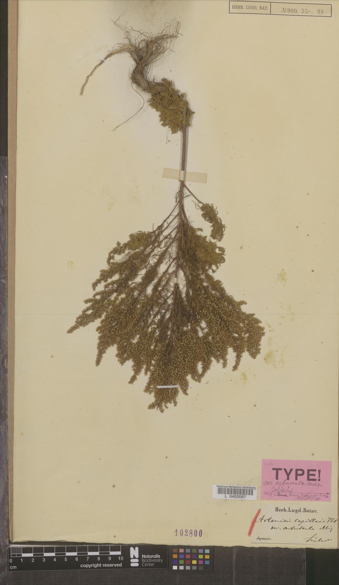 L  0420087 | Artemisia capillaris var. arbuscula Miq.