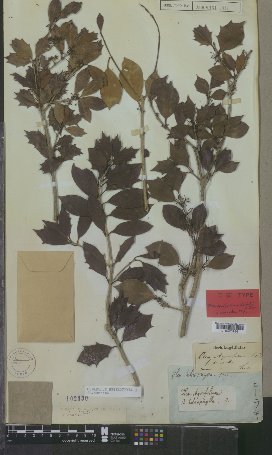 L  0420196   Osmanthus heterophyllus f. cuneata Miq.