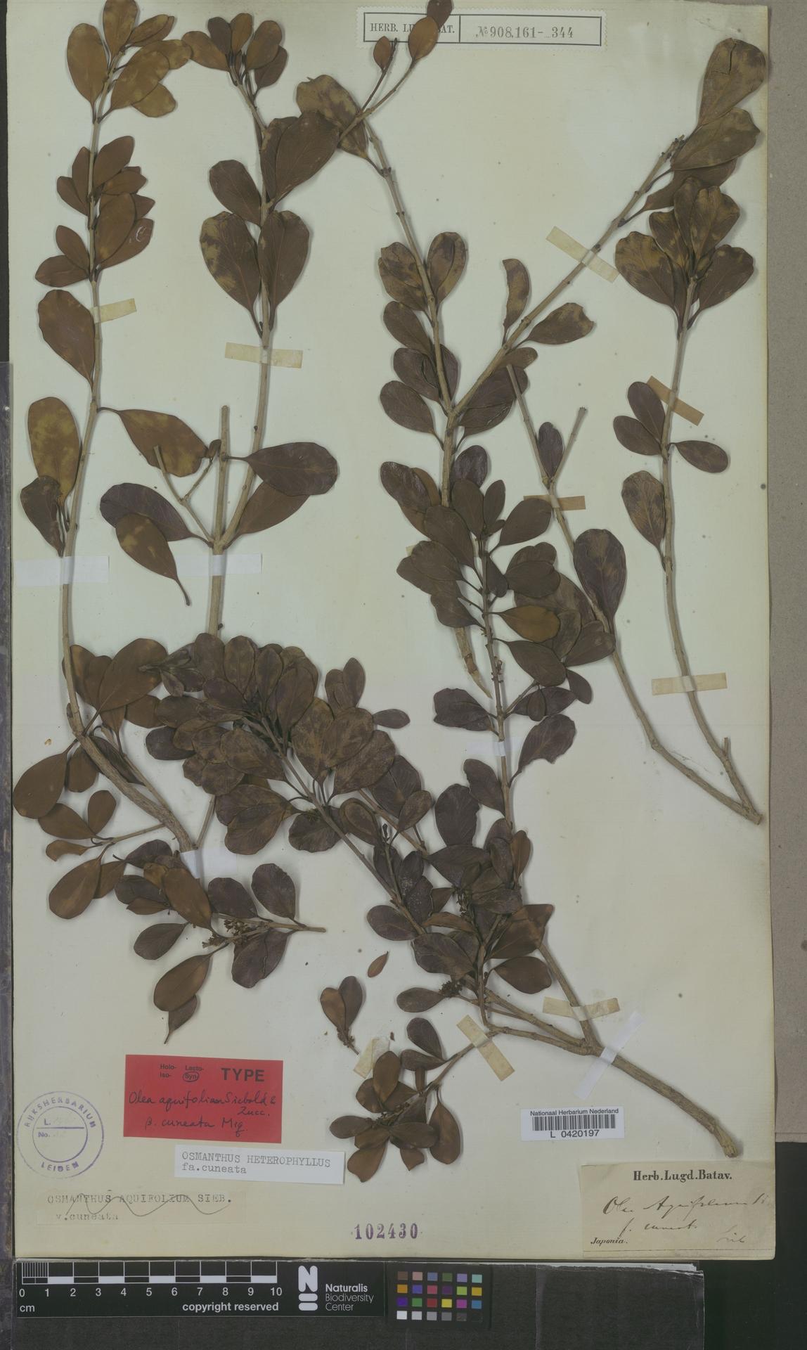 L  0420197 | Osmanthus heterophyllus f. cuneata Miq.