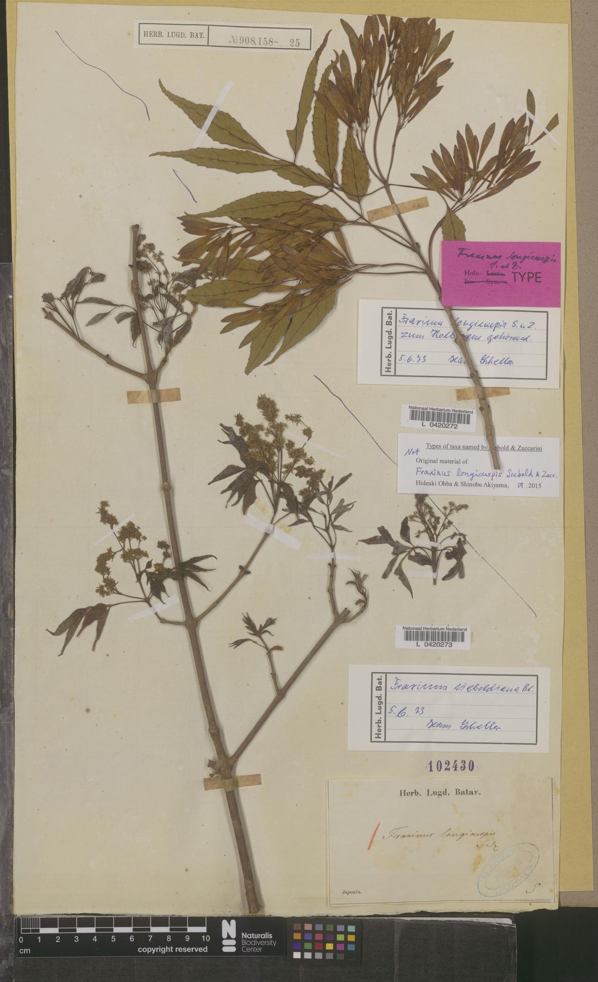 L  0420272   Fraxinus longicuspis Blume
