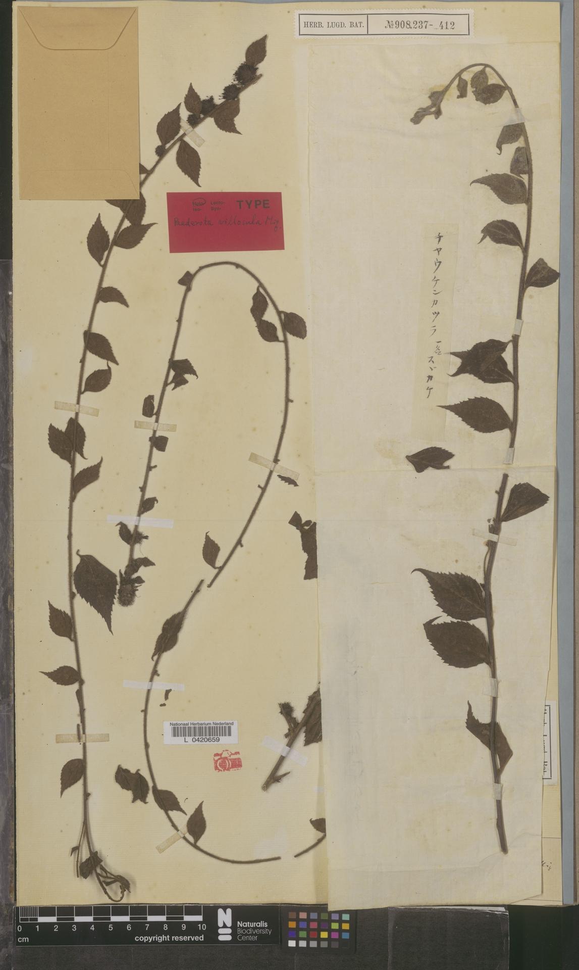 L  0420659   Botryopleuron villosulum (Miq.) Makino