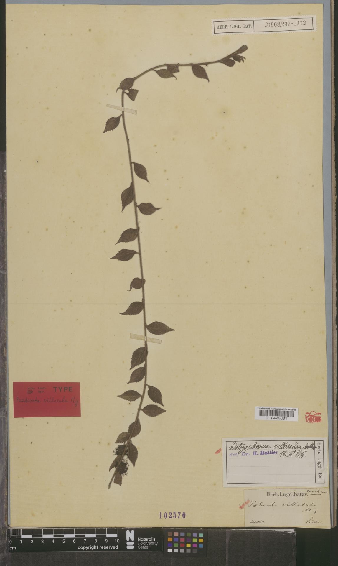 L  0420661 | Botryopleuron villosulum (Miq.) Makino