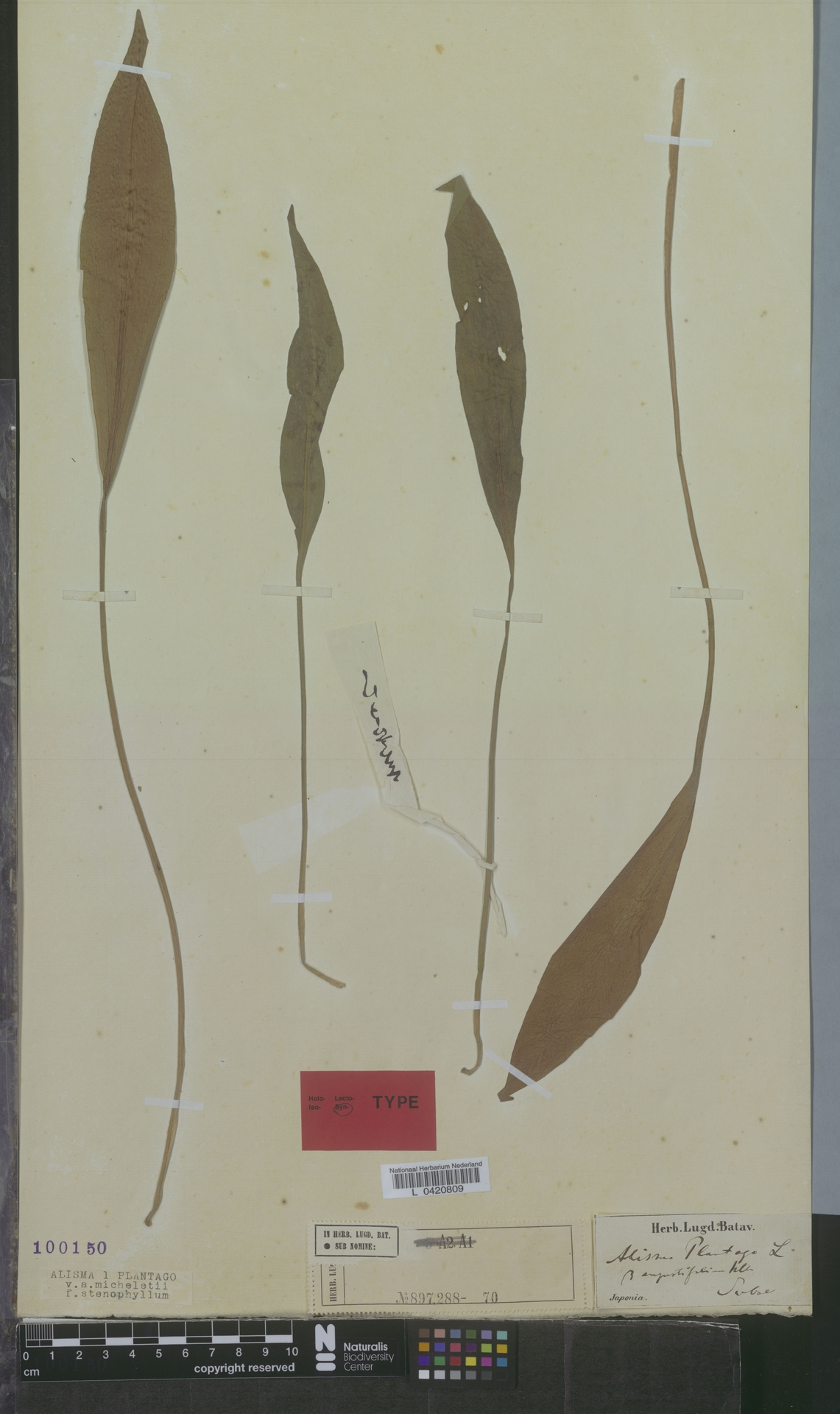 L  0420809 | Alisma plantago f. stenophyllum Asch. & Graebn.