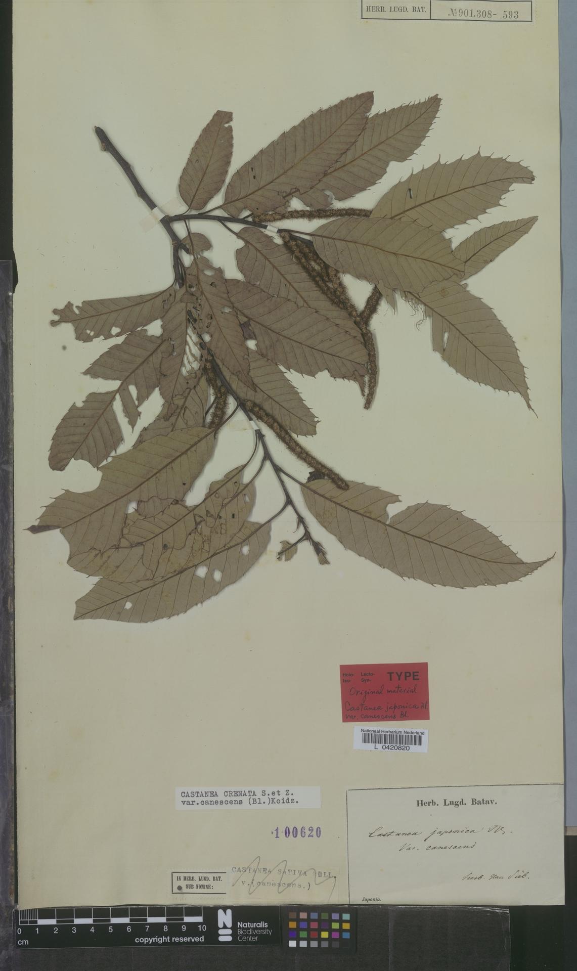 L  0420820   Castanea crenata var. canescens (Blume) Koidz.
