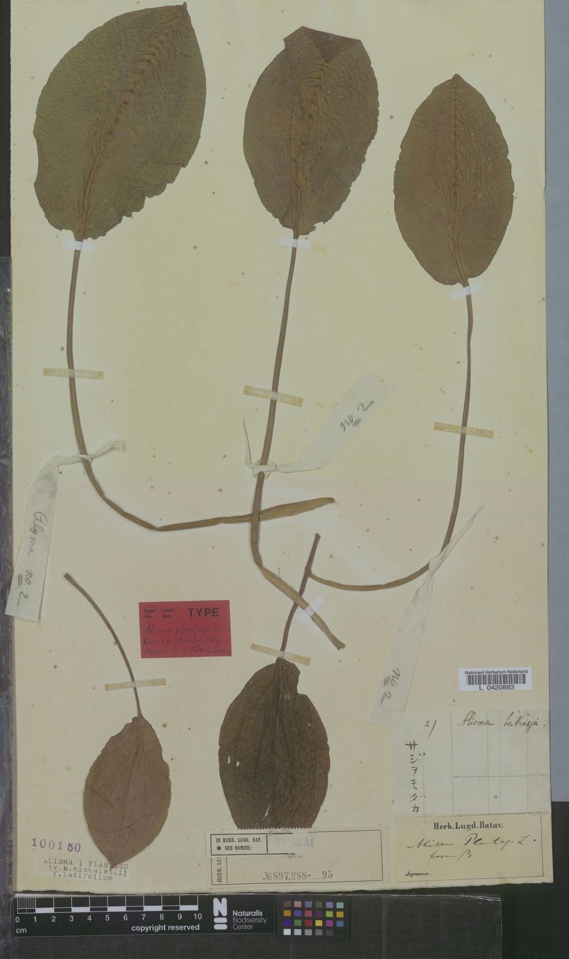 L  0420883 | Alisma plantago f. latifolium