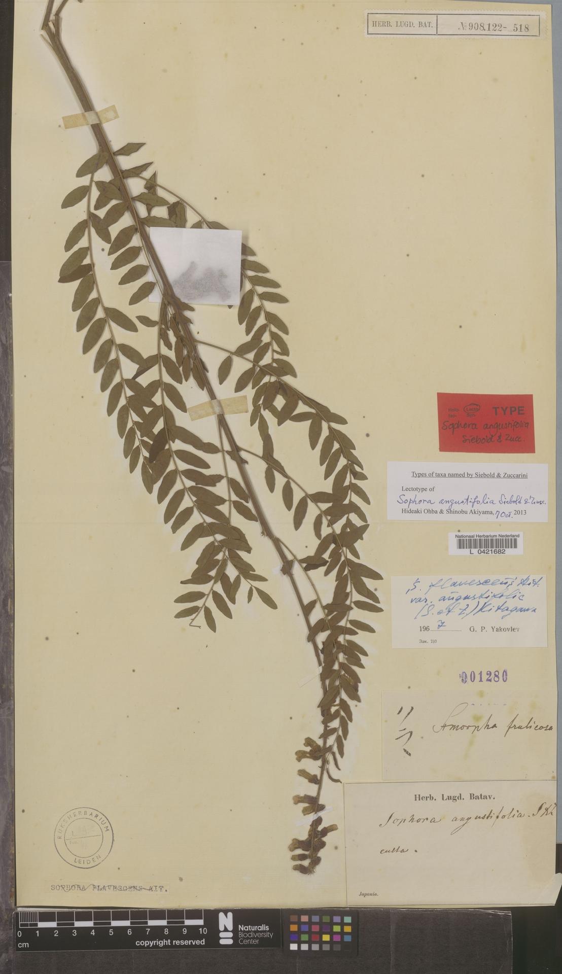 L  0421682   Sophora flavescens var. angustifolia (Siebold & Zucc.) Kitag.