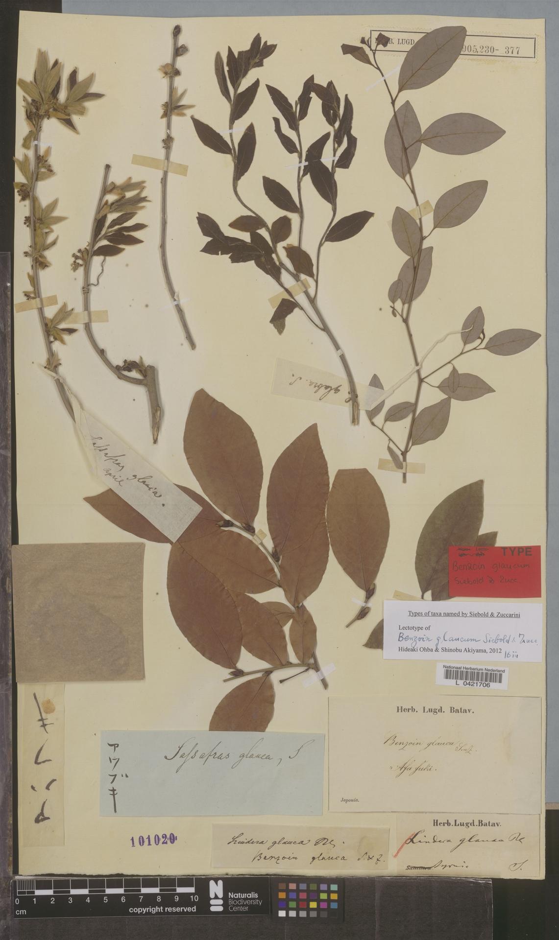 L  0421706 | Lindera glauca Blume