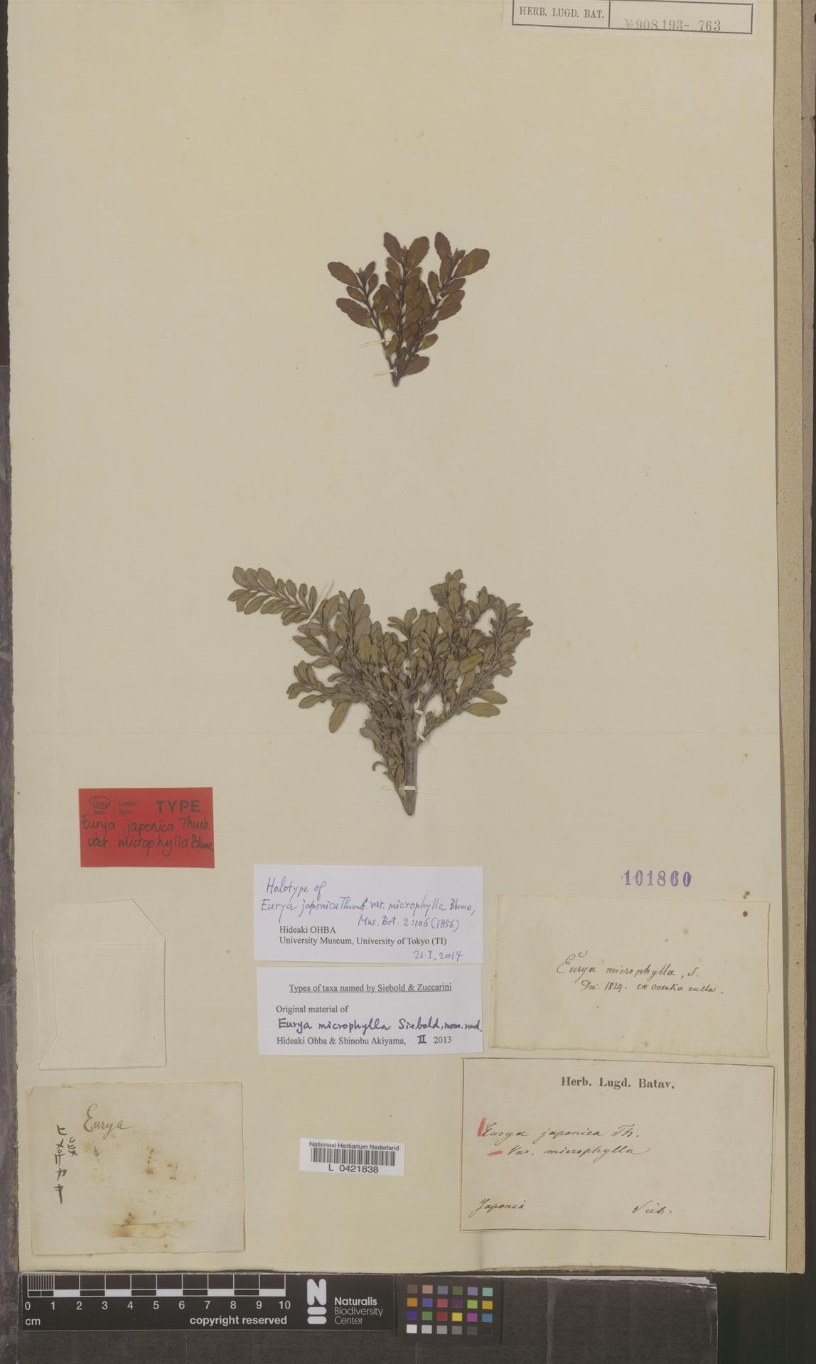L  0421838 | Eurya japonica var. microphylla (Siebold) Blume