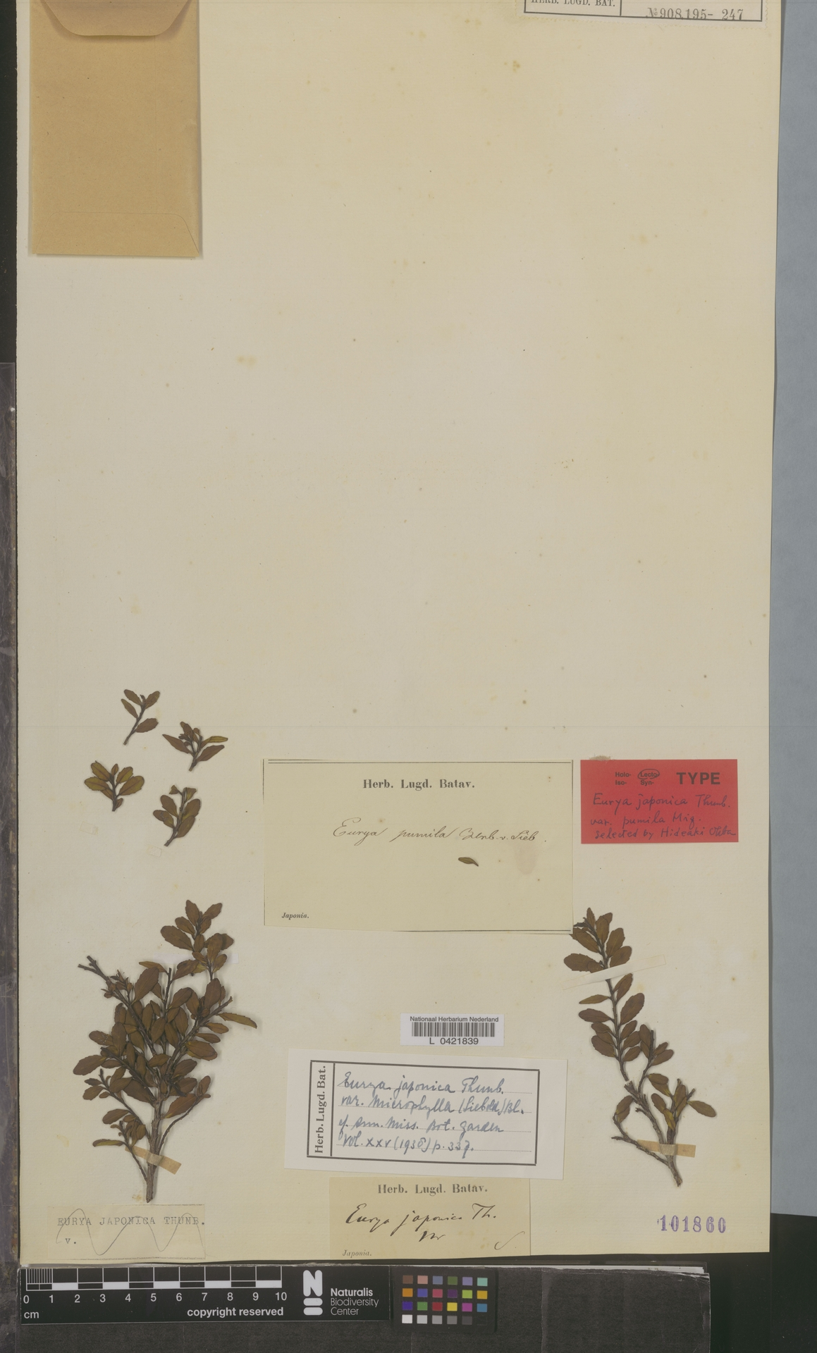 L  0421839 | Eurya japonica var. microphylla (Siebold) Blume
