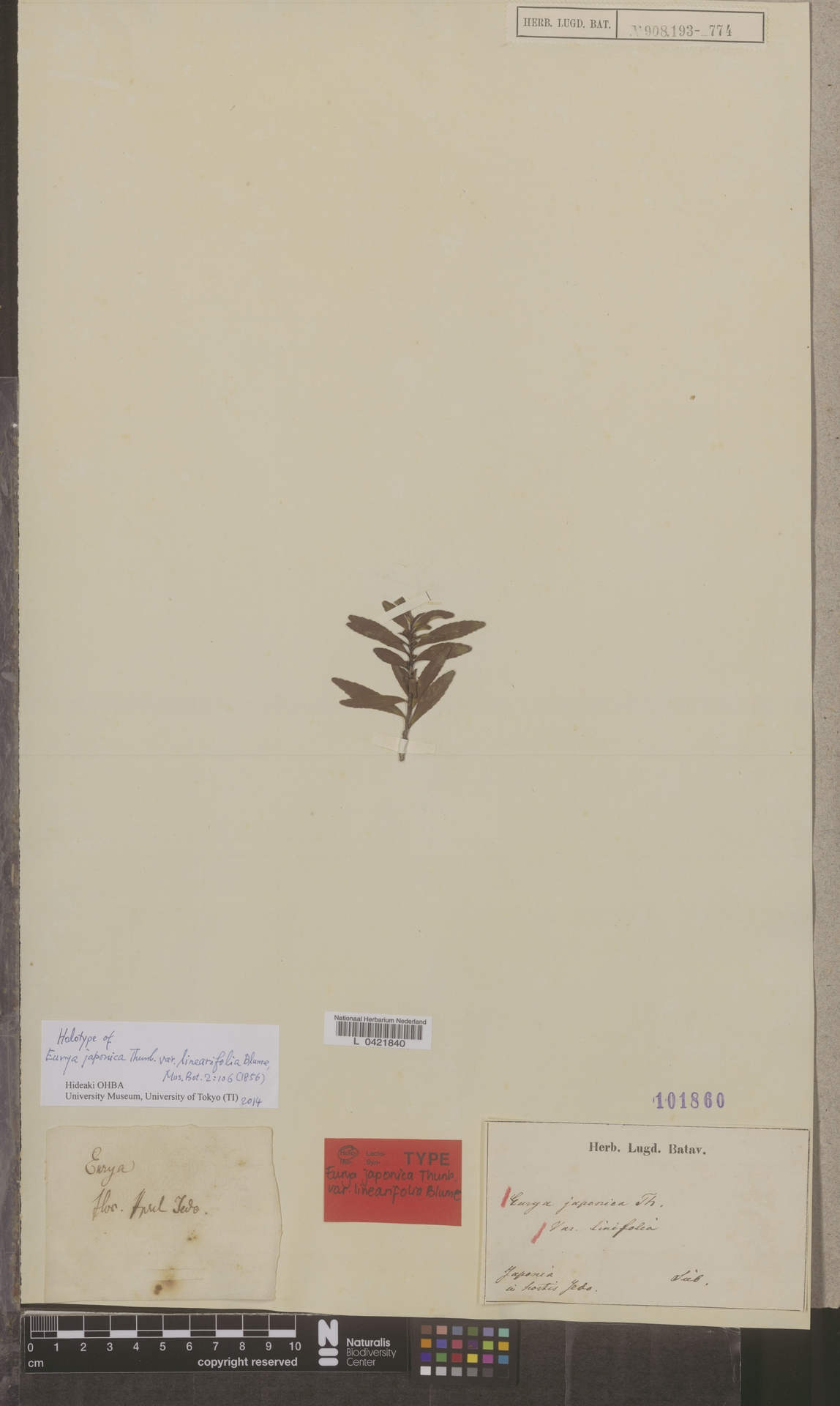 L  0421840   Eurya japonica var. linifolia