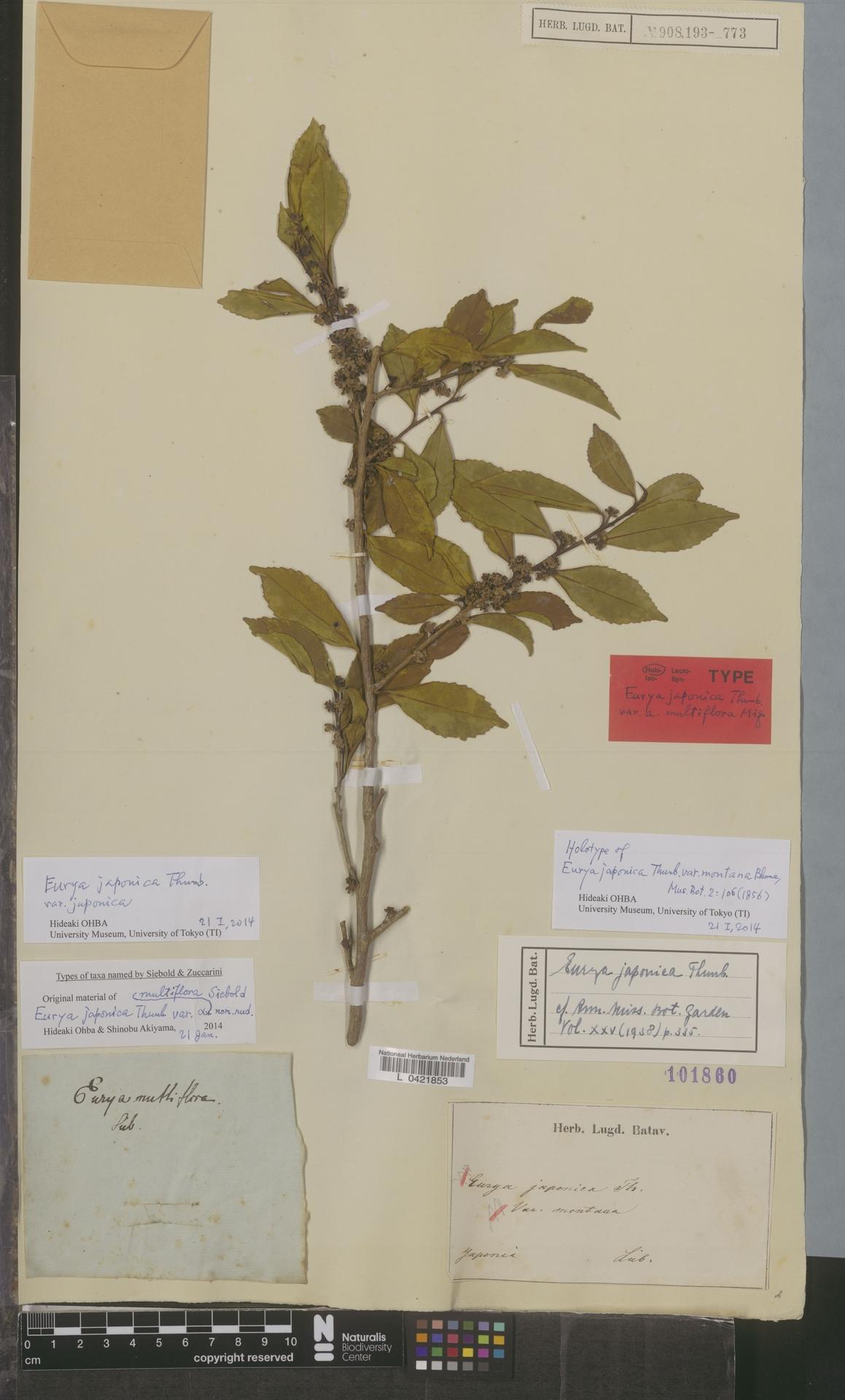L  0421853 | Eurya japonica var. japonica Thunb.