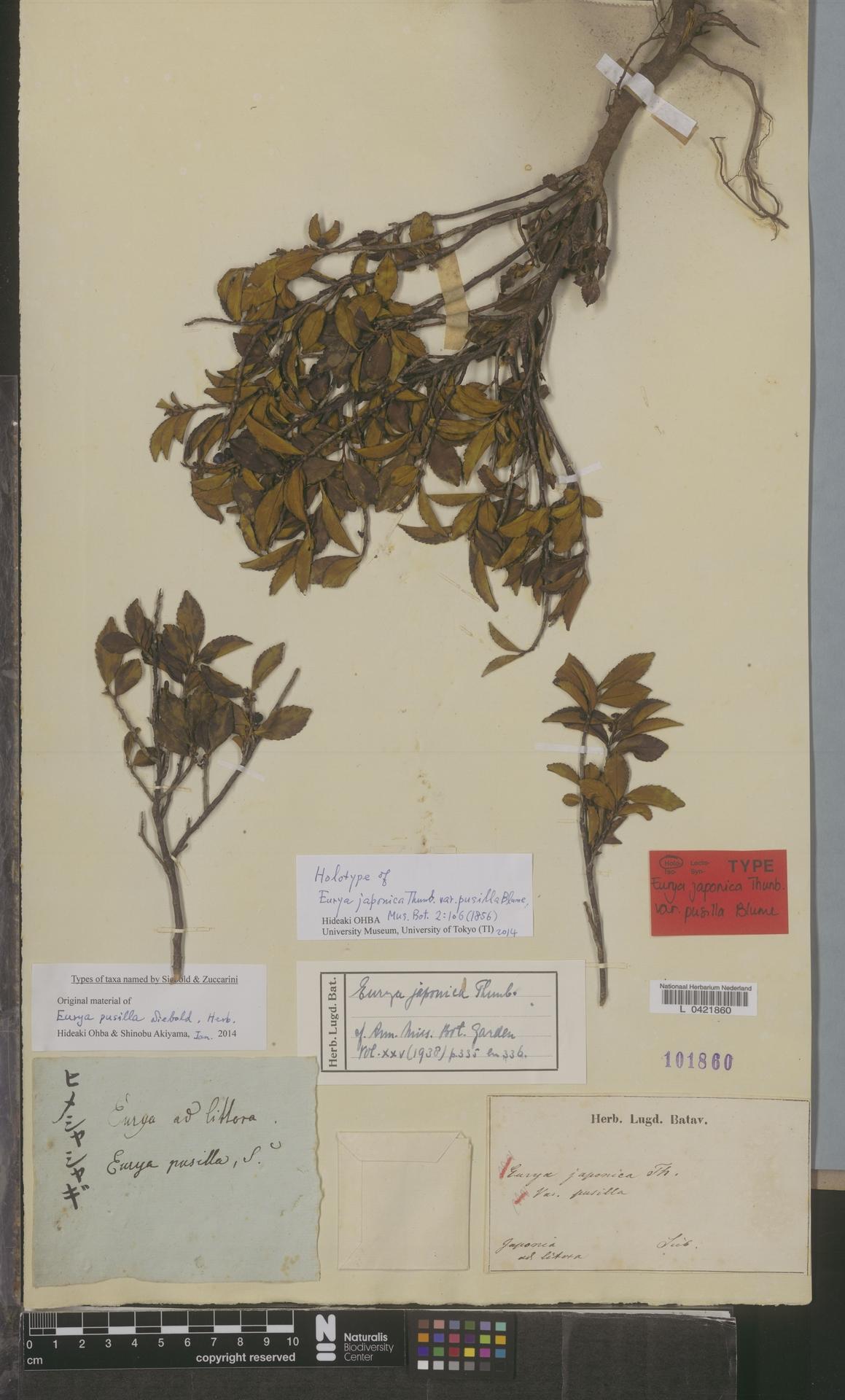 L  0421860   Eurya japonica Thunb.