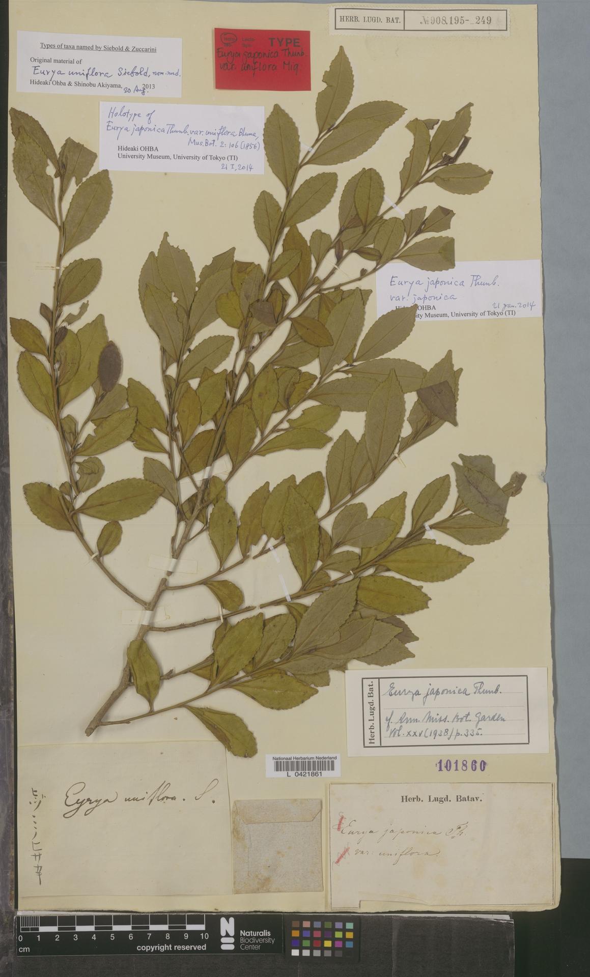 L  0421861 | Eurya japonica var. japonica Thunb.