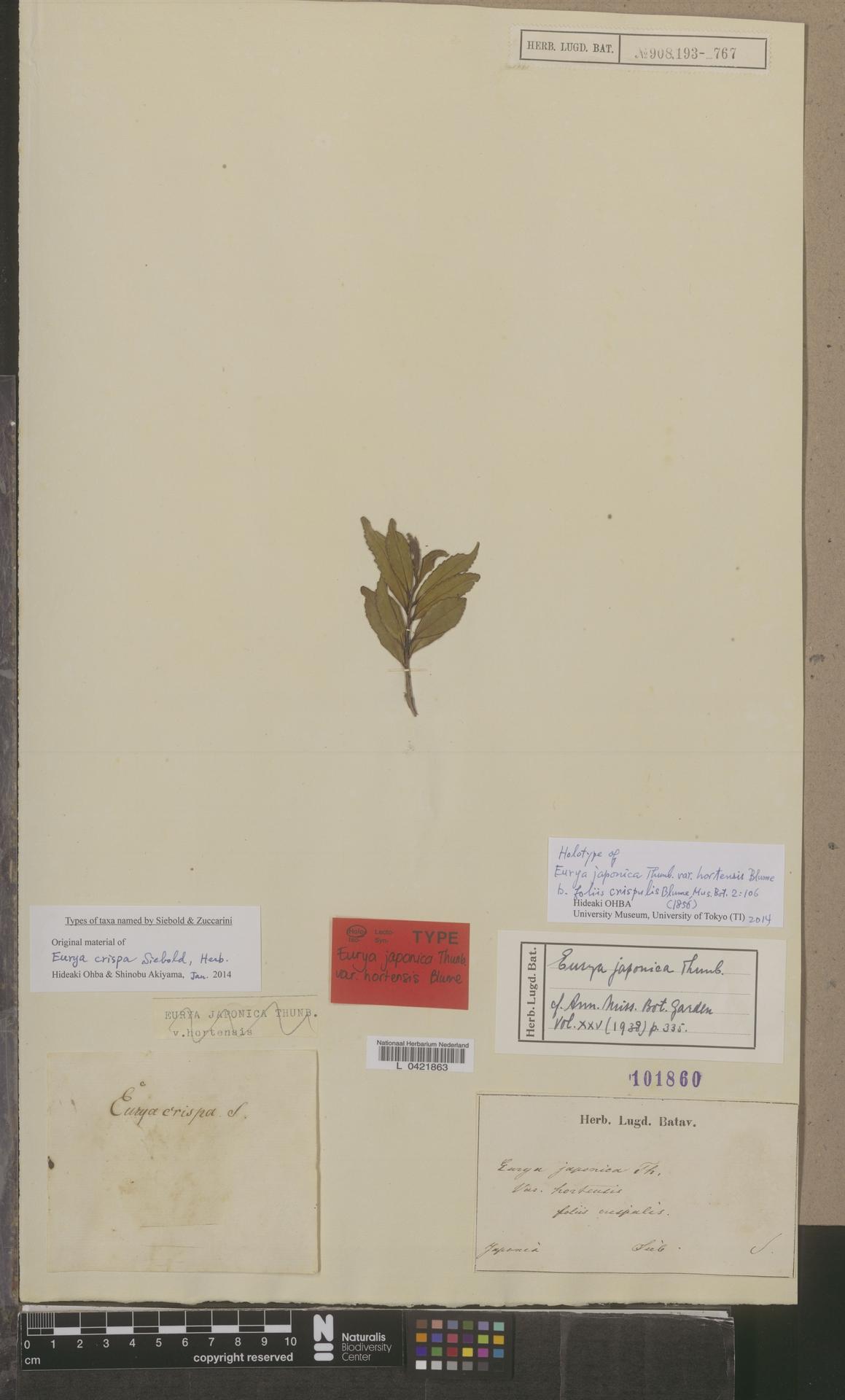 L  0421863 | Eurya japonica Thunb.