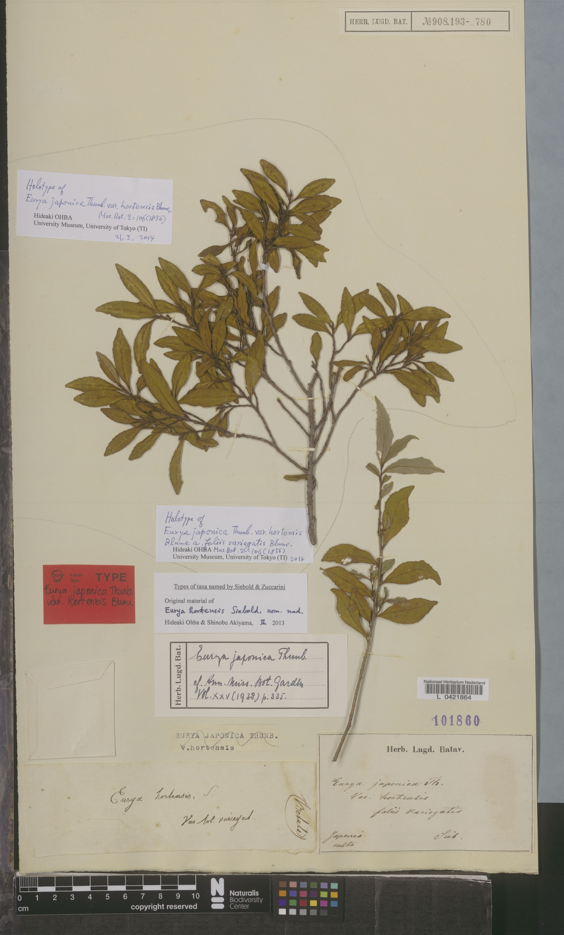 L  0421864 | Eurya japonica Thunb.