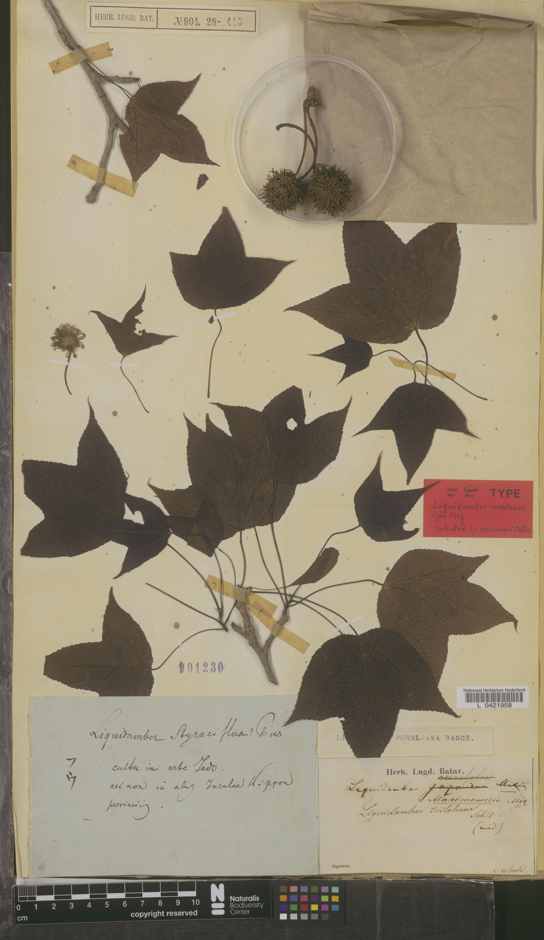 L  0421958 | Liquidambar formosana Hance