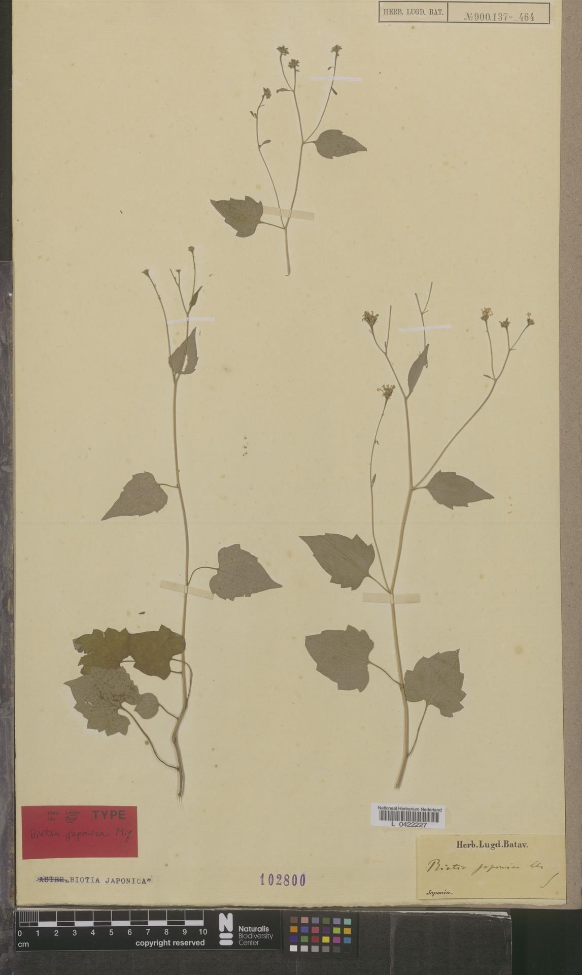 L  0422227 | Biotia japonica Miq.
