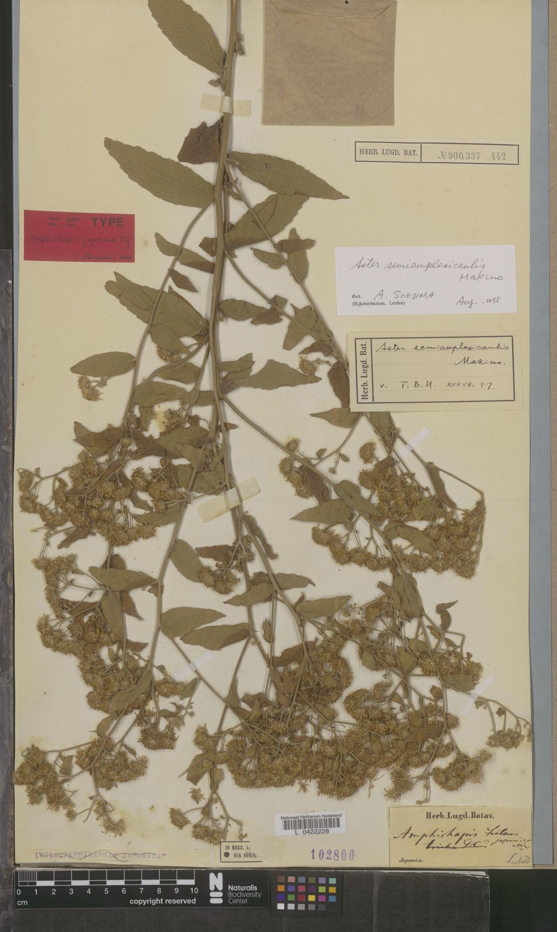L  0422228   Aster semiamplexicaulis Makino
