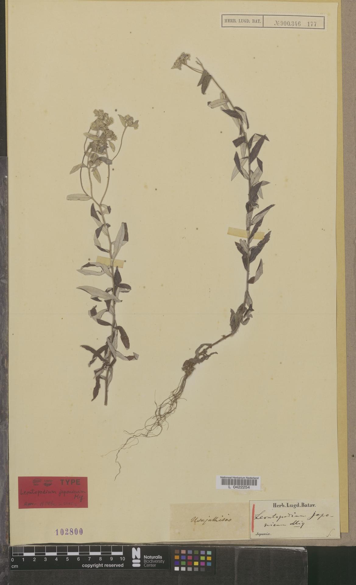 L  0422254 | Leontopodium japonicum Miq.