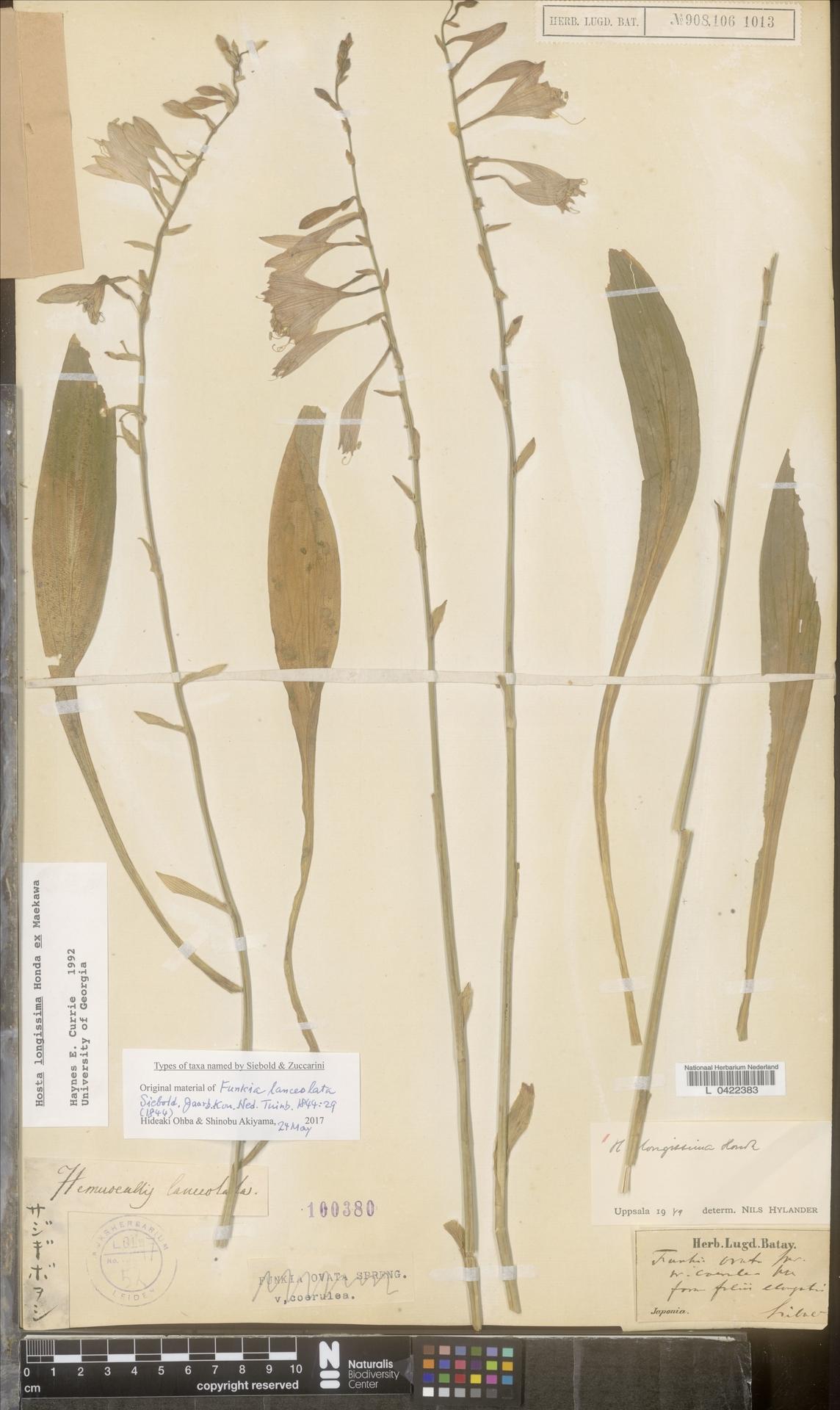 L  0422383 | Hosta longissima Honda ex Maek.