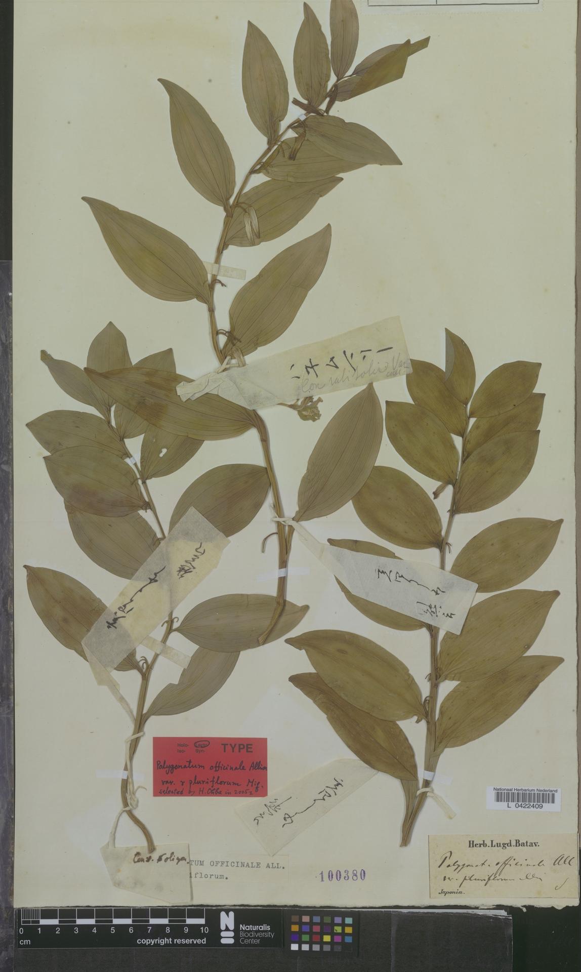 L  0422409 | Polygonatum officinale var. pluriflorum Miq.