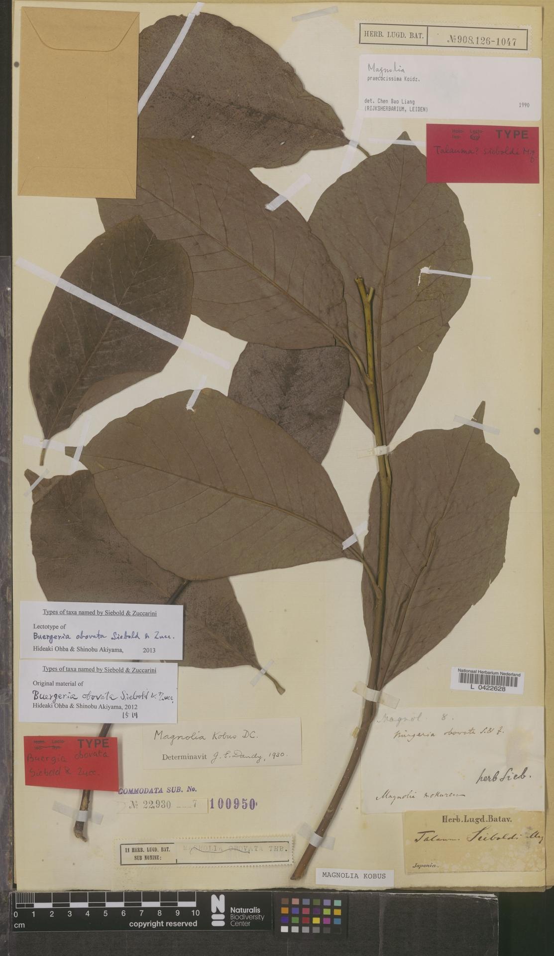 L  0422628   Magnolia kobus DC.
