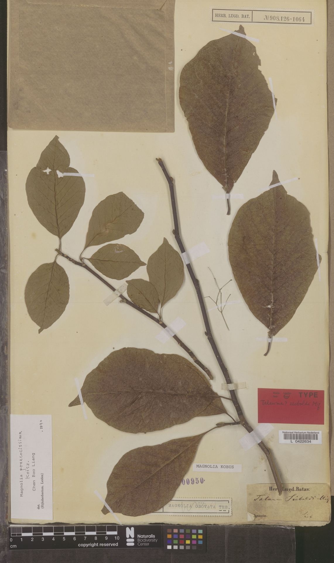 L  0422634   Magnolia praecocissima Koidz.