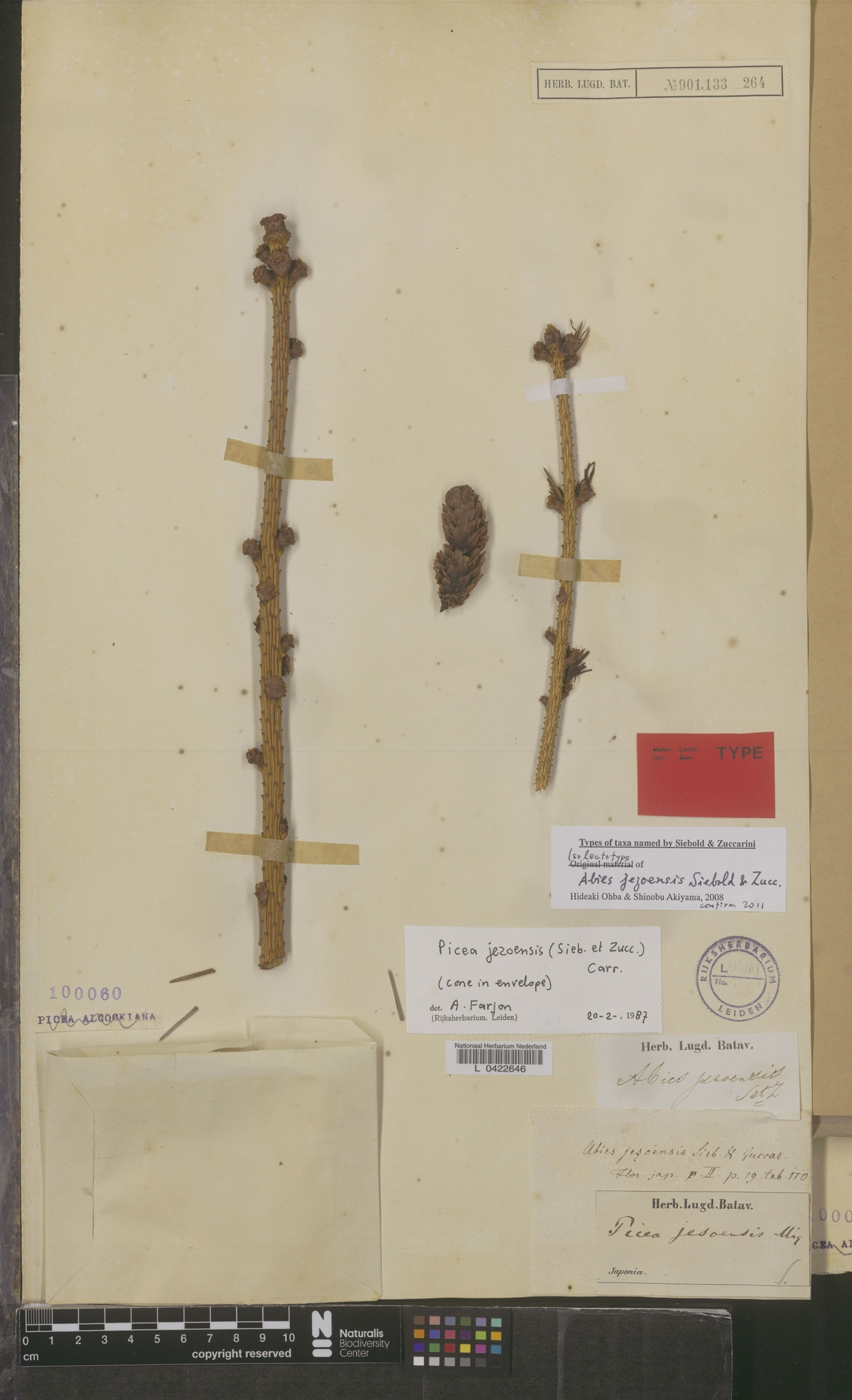 L  0422646 | Picea jezoensis (Siebold & Zucc.) Carrière