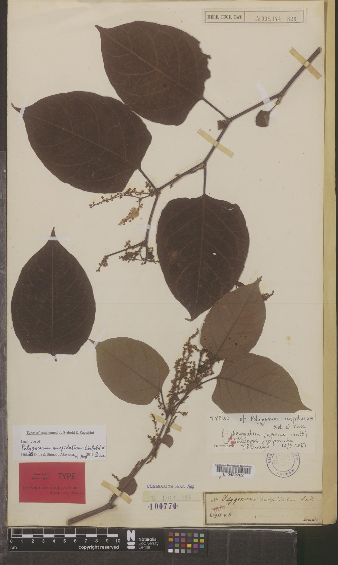 L  0422782 | Fallopia japonica (Houtt.) Ronse Decr.