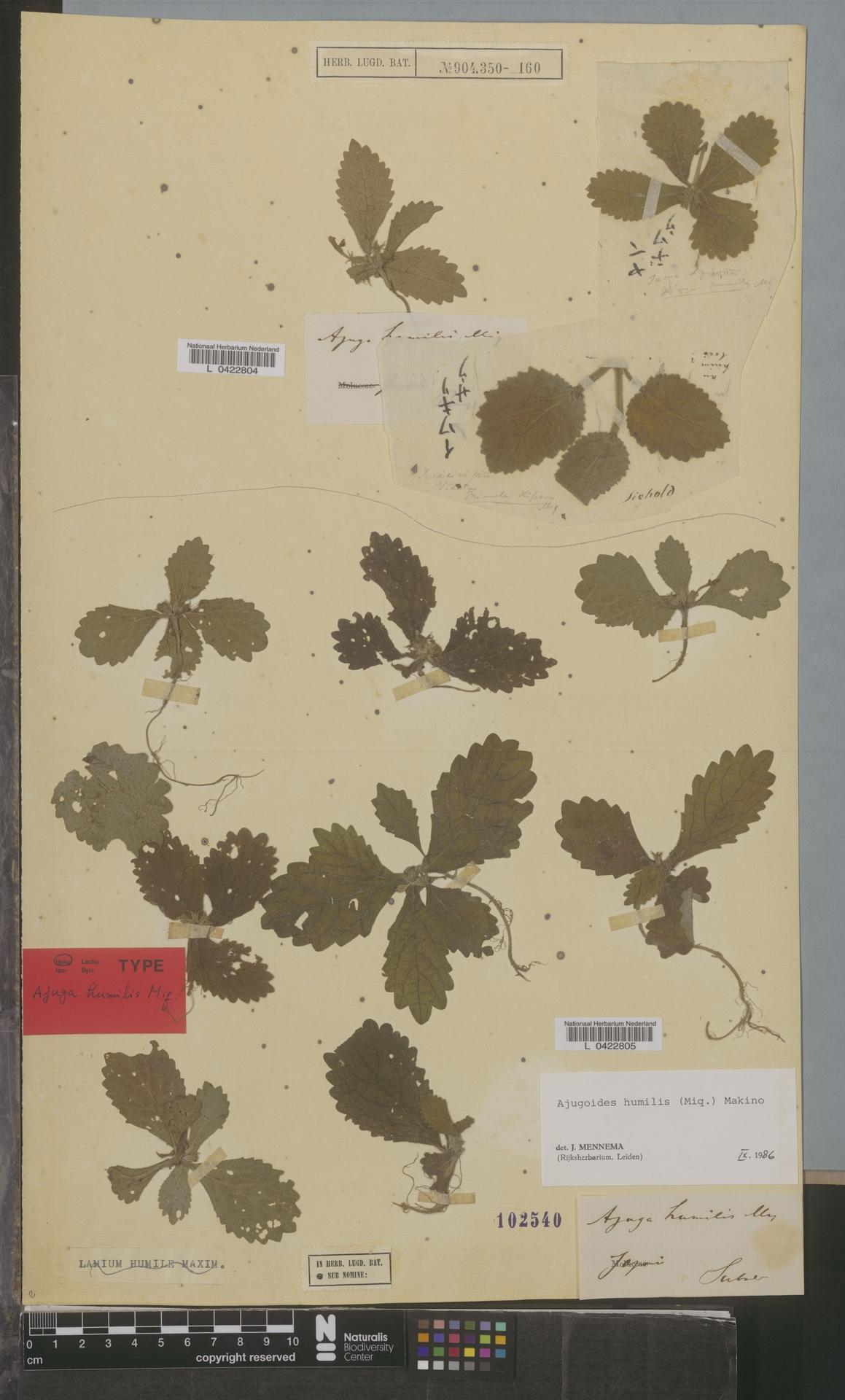 L  0422805 | Ajugoides humilis (Miq.) Makino