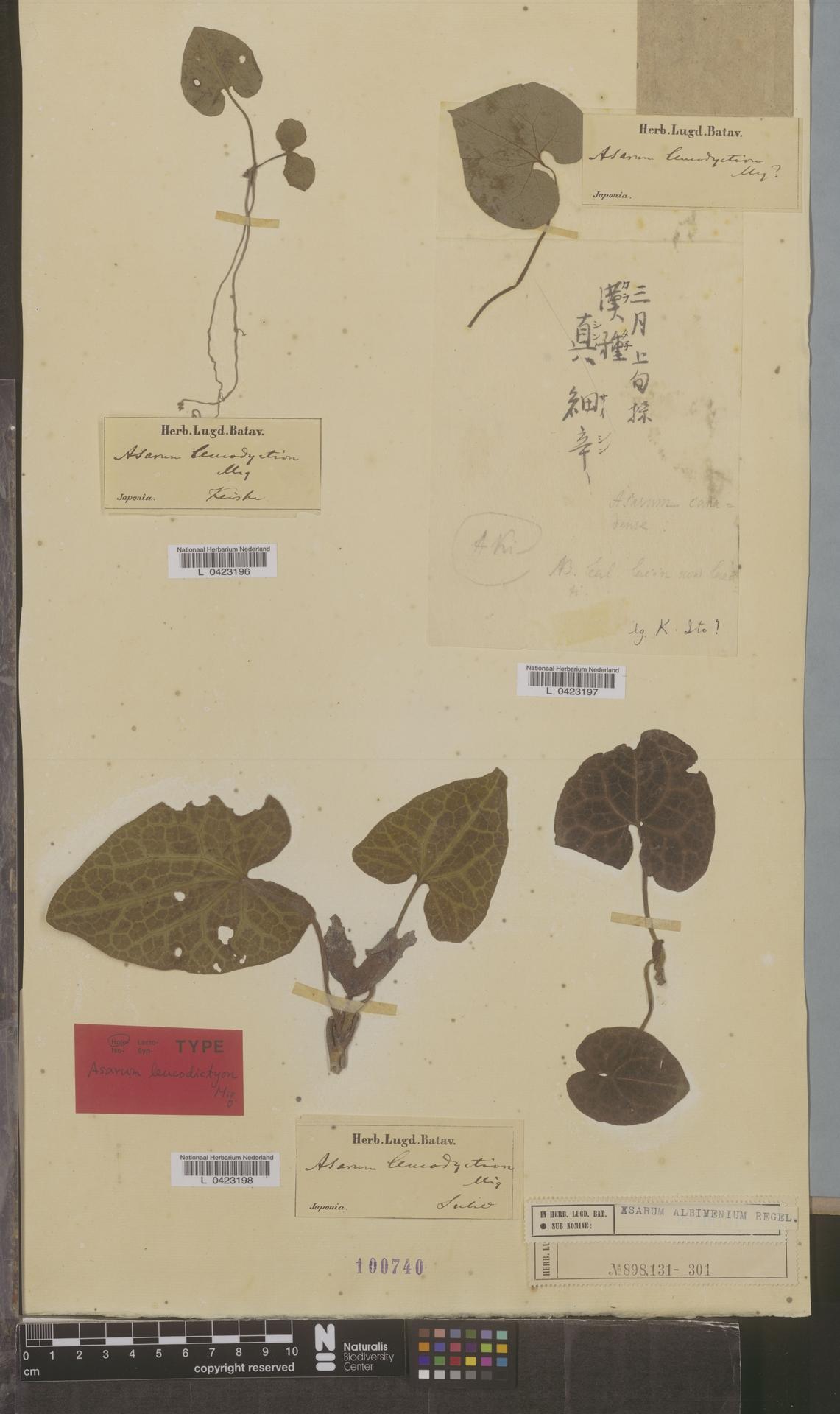 L  0423198   Asarum albimenium Regel
