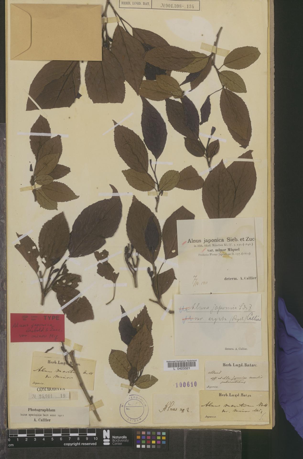 L  0423321 | Alnus japonica var. minor Miq.