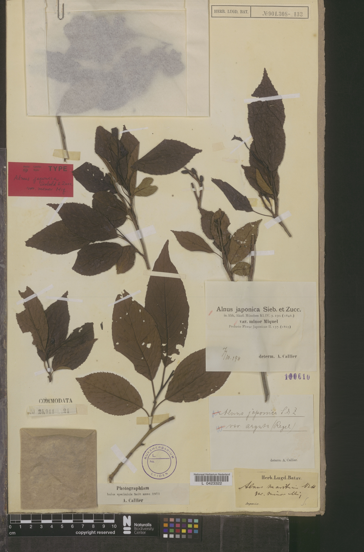 L  0423322 | Alnus japonica var. minor Miq.